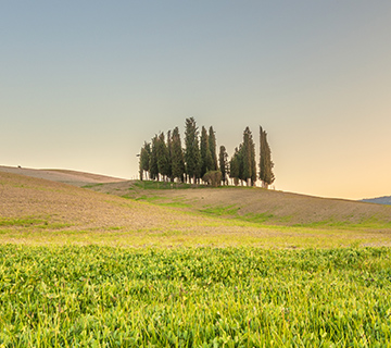 Cypresses on the tuscan hill in sunset light